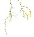 Ramitas de la primavera del abedul con las hojas y los amentos jovenes del verde Fotografía de archivo libre de regalías