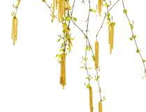 Ramitas de la primavera del abedul con las hojas y los amentos jovenes del verde Foto de archivo
