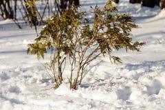 Ramitas de las ramitas en la nieve Fotos de archivo libres de regalías