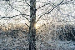 Ramitas del árbol de abedul de la escarcha contra luz del sol Imagenes de archivo