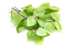 Ramitas del abedul con las hojas verdes Fotografía de archivo libre de regalías