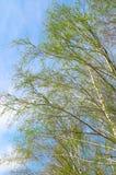 Ramitas del abedul y cielo azul Imagen de archivo libre de regalías