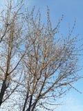 Ramitas del cielo del día de primavera foto de archivo libre de regalías
