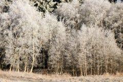 Ramitas delicadas del árbol de abedul en escarcha y nieve Fotografía de archivo