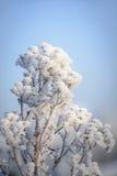 Ramitas heladas en la luz del sol de oro de la mañana que se enciende encima de los cristales de hielo Imagen de archivo