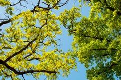 Ramitas, hojas y cielo del roble Imagen de archivo libre de regalías