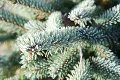Ramitas spruce heladas Foto de archivo