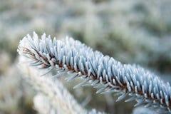 Ramitas spruce heladas Imagen de archivo libre de regalías
