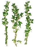 Ramitas verdes frescas del tomillo, aisladas foto de archivo