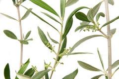 Ramitas verdes olivas con los brotes Imagen de archivo