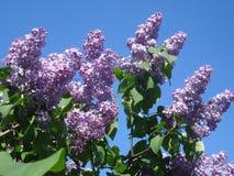 Ramitas vulgaris florecientes del syringa púrpura Foto de archivo
