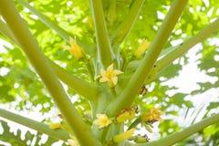 Ramitas y flores de la papaya Imágenes de archivo libres de regalías