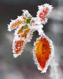 Ramitas y hojas heladas Foto de archivo libre de regalías
