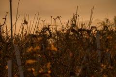 Ramitas y ramas del viñedo por la mañana Fotografía de archivo libre de regalías