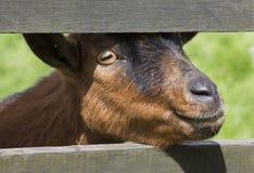 Ramma huvudet för ` s, en djur lantgård fotografering för bildbyråer
