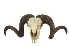 Ramma skallen med den stora hornen arkivfoto