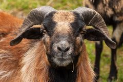 Rammer. Detail head of sheep ram Cameroon. Breeding Farm. Stock Image