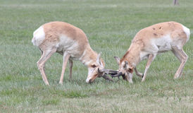 Ramming horn locked wild antelope Royalty Free Stock Image