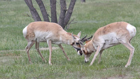 Ramming horn locked wild antelope Royalty Free Stock Images