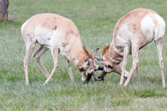 Ramming horn locked wild antelope Stock Photo