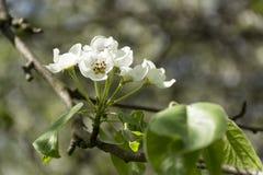 Ramo, árvore, flores de cerejeira, flores brancas, pétalas, mola Imagem de Stock Royalty Free