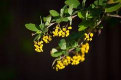 Ramo amarelo de uma árvore em um fundo escuro Imagens de Stock Royalty Free