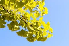 Ramo amarelo do biloba da nogueira-do-Japão com folha contra o céu azul, fundo bonito do outono foto de stock