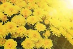 Ramo amarillo de las flores del crisantemo con la llamarada ligera para el fondo Imagen de archivo libre de regalías