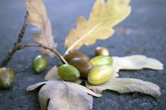 Ramo appassito della quercia e poche ghiande non mature che si trovano sull'asfalto fotografia stock