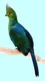 Ramo appollaiantesi del Turaco di Livingstone Fotografia Stock Libera da Diritti