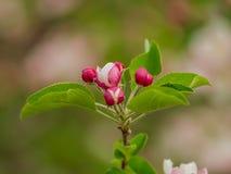 Ramo ascendente próximo com as flores da árvore de maçã que florescem na mola foto de stock royalty free