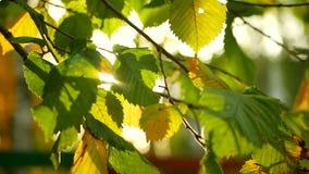 Ramo atrasado das folhas de outono video estoque