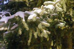 Ramo attillato con i cappucci della neve Fotografia Stock Libera da Diritti