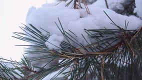 Ramo attillato coperto di neve, oscillante nel vento video d archivio