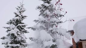 Ramo attillato innevato nella foresta di inverno contro il cielo blu La neve cade dai rami dell'abete archivi video