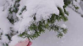 Ramo attillato innevato nella foresta di inverno contro il cielo blu La neve cade dai rami dell'abete video d archivio