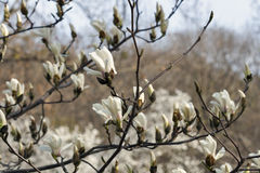 Ramo bianco della magnolia con i fiori ed i germogli di fioritura della molla Fotografia Stock