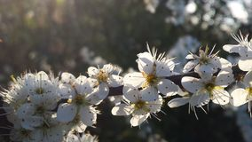 Ramo bianco 3 di Blossem del prugnolo Fotografia Stock