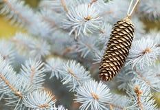 Ramo blu dell'albero di Natale con la pigna della decorazione dell'oro immagine stock