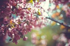 Ramo bonito da cereja em um jardim da mola Fotografia de Stock Royalty Free