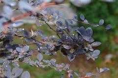 ramo bonito da videira violeta da magnólia com gotas do orvalho fotografia de stock royalty free
