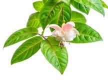 Ramo bonito de florescência nas máscaras do fuc cor-de-rosa branco e delicado Imagens de Stock