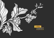 Ramo branco da árvore de café com folhas e os feijões de café naturais Vetor Fotos de Stock Royalty Free