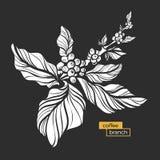 Ramo branco da árvore de café com folhas e os feijões de café naturais Vetor Fotografia de Stock Royalty Free