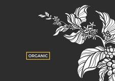 Ramo branco da árvore de café com folhas, flores e os feijões de café naturais Vetor Fotografia de Stock