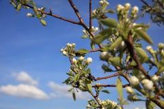 Ramo branco da flor, árvore de fruto da ameixa na mola Imagem de Stock