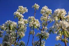 Ramo branco da flor, árvore de fruto da maçã na mola Foto de Stock Royalty Free