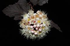 Ramo branco de florescência no jardim em um close-up preto do fundo Imagem de Stock Royalty Free