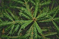 ramo brilhante verde de um abeto foto de stock