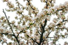 Ramo cinese del fiore di ciliegia contro un cielo bianco Immagine Stock Libera da Diritti